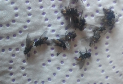 moscas en el mundo rural